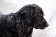 A snow-covered black Newfoundland and Golden Retriever mixed-breed dog alert on a dock during a snow storm.