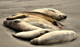 Grupo de leões-marinhos