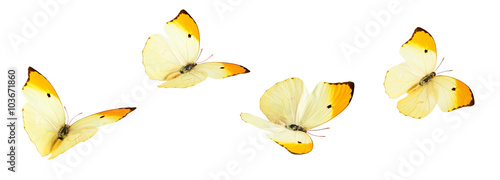 Yellow Butterflies (Anteos Menippe).