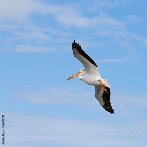 Fotobehang Adult White Pelican Pelecanus onocrotalus flying