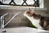 Tabby cat drinks water from the tap