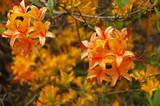 Azalee orange azalea in orange colours