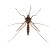 brown small isolated mosquito