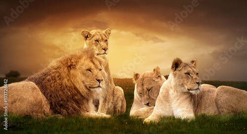 Fotobehang African lions resting in the green grass.