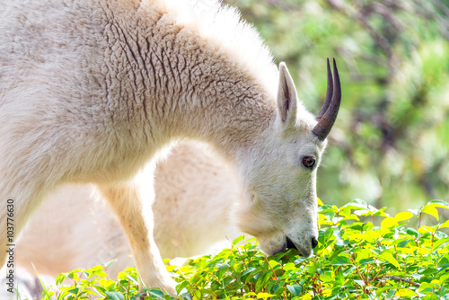 Poster Closeup picture of a rocky mountain goat eating in Custer State Park