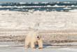 Wild polar bear in arctic.
