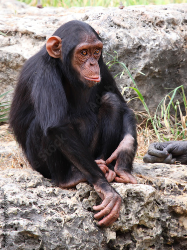 Foto op Canvas Aap The cub of a chimpanzee sitting on a rock at the zoo