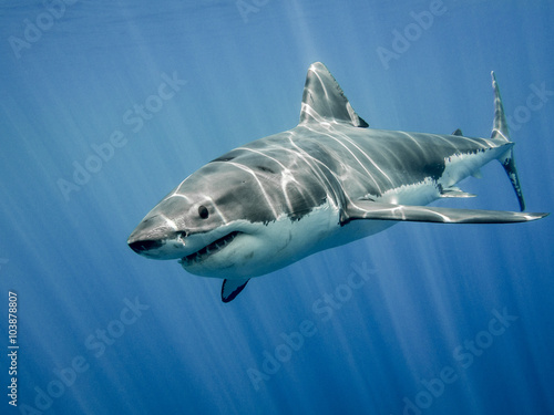 Great white shark and sun rays Poster