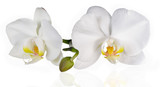 Fototapety White orchids on white