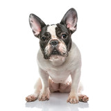 French bulldog on Whtie background