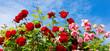 Obrazy na płótnie, fototapety, zdjęcia, fotoobrazy drukowane : Red and pink climbing roses.