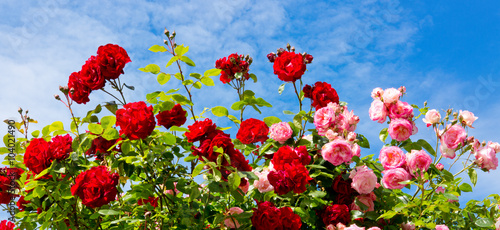 Fototapeta Red and pink climbing roses.