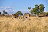 Great kudu antelopes, Africa