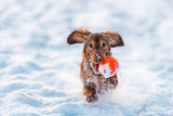 funny dog dachshund  jumps up in winter park