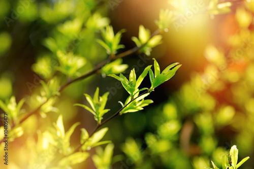 Zdjęcia na płótnie, fototapety na wymiar, obrazy na ścianę : Beautiful spring leaves in forest