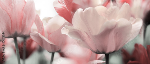 Fototapety, obrazy : pink tinted tulips