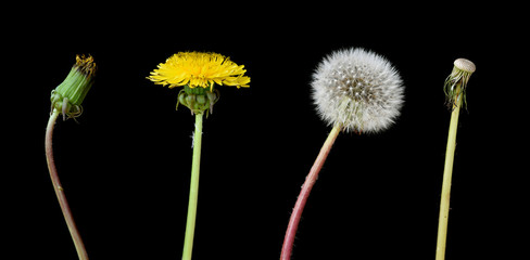 Four stage of a dandelion isolated on black background