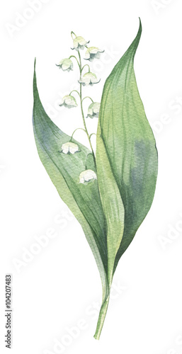 Watercolour hand-drawn early spring may-lily flower illustration - 104207483