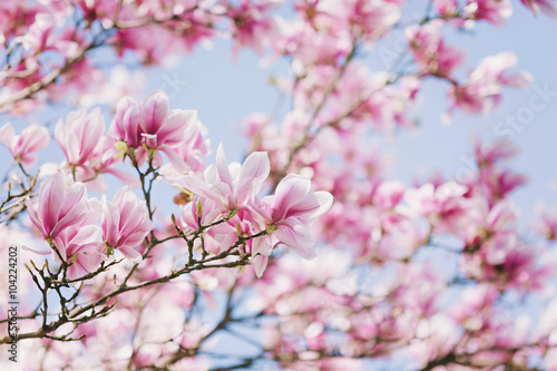 Spring! Blooming Magnolia Poster