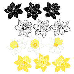 Daffodils.Set of spring flowers narcissus isolated on white background.