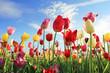 Leuchtendes Tulpenfeld und blauer Himmel - 104303899