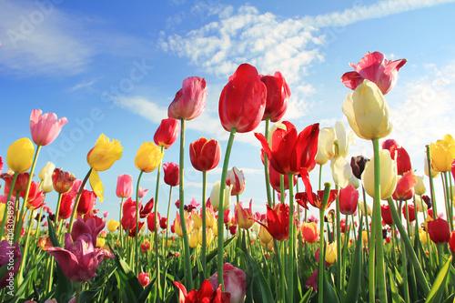 Leuchtendes Tulpenfeld und blauer Himmel Poster