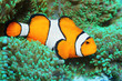 Underwater photo of tropical reef fish - Clownfish (Amphiprion ocellaris) Macro with shallow DOF.