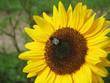 Leinwandbild Motiv Hummel auf Sonnenblume