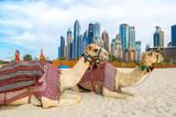 Wielbłąd w Dubai Marina