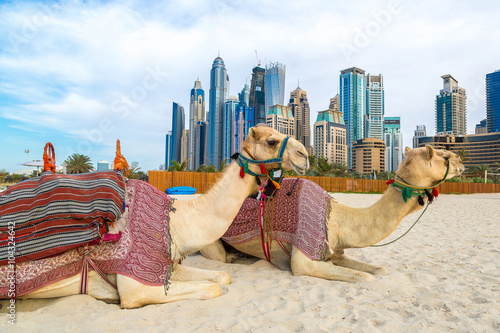 Staande foto Dubai Camel in Dubai Marina