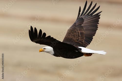 Bald Eagle in Flight - 104355430