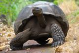 Giant tortoise in El Chato Tortoise Reserve, Galapagos islands (Ecuador)