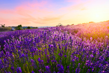 Sunset over a violet lavender field