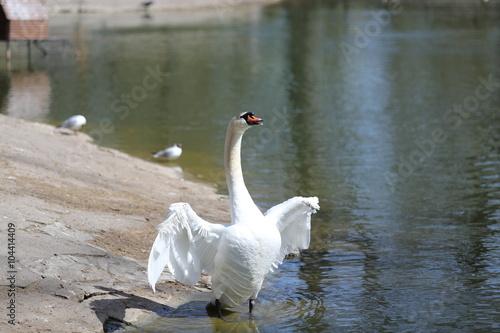 плс белый лебедь видео