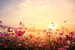 Landscape nature background of beautiful pink and red cosmos flower field with sunset. vintage color tone - 104469435