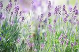Fototapety Lavandula angustifolia im Sommergarten