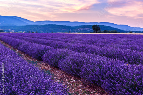 Foto op Canvas Violet Beautiful landscape of lavender fields at sunset near Sault