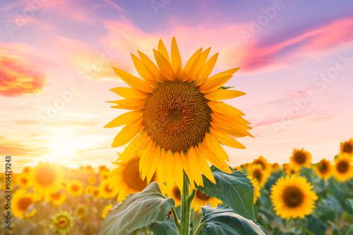 Fotobehang Purper Sunflower field at sunset