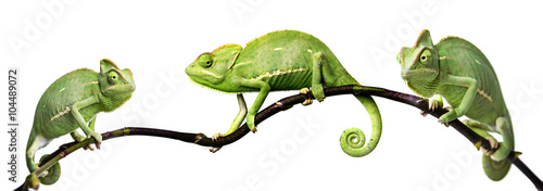 kameleon - Chamaeleo calyptratus na gałęzi