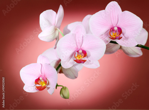 orchidea-na-czerwono
