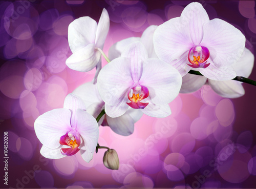 Orchid on purple - 104520208