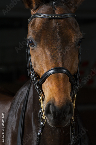 Portait of a bay dressage horse Obraz na płótnie