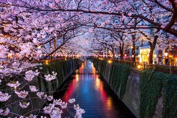 Kirschblüte beim Meguro Kanal in Tokyo bei Nacht