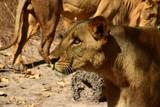 lew w Senegalu
