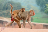 Rhesus macaque monkeys (Macaca mulatta) on the walls of the Agra Fort, India.