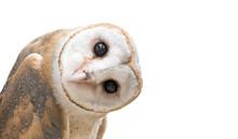 Common Barn Owl  Tyto Albahead   Sticker