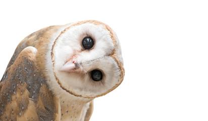 common barn owl ( Tyto albahead ) isolated