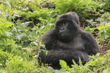 Adult gorilla in the jungle of Rwanda