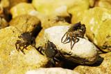 Fototapeta Do akwarium - Dwa kraby na skale © LukasiakK