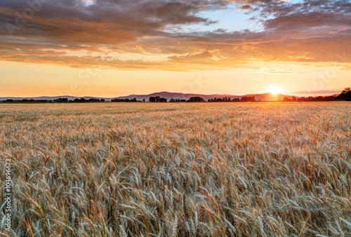 Fototapeta Wheat field at sunset